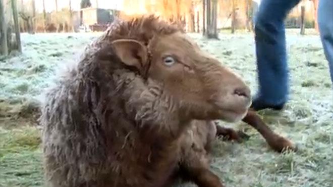 Dr Cath: face à ce mouton pétrifié par le froid, Catherine utilise les grands moyens