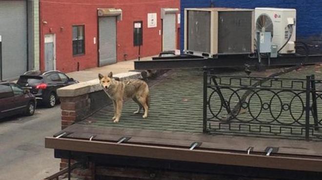New York compte de nouveaux citoyens: des coyotes se baladent sur les toits (photos)