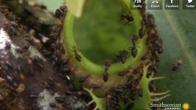 Cette plante carnivore piège et engloutit 6.000 insectes par heure (vidéo)