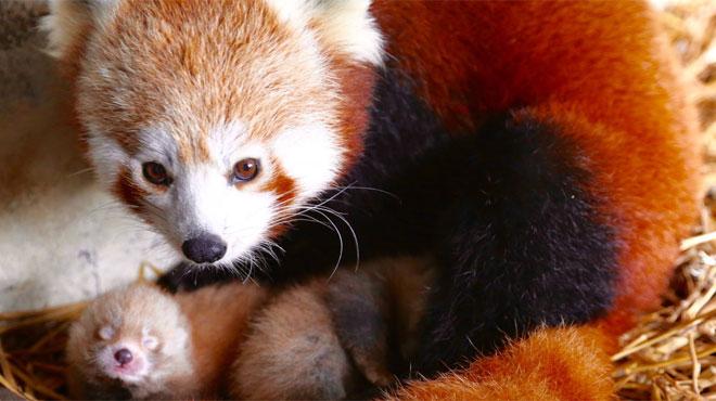 Avez-vous déjà vu des bébés aussi mignons? Deux pandas roux sont nés à Pairi Daiza (photos)