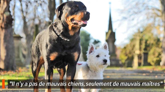 Le petit bichon de Jacques presque tué par un rottweiler à Seraing :