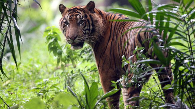 Un jeune homme attaqué et tué par un tigre devant ses amis