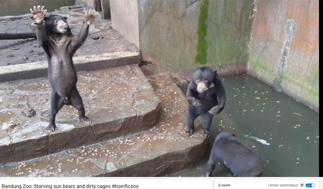 Vidéo choquante filmée dans un zoo: un ours squelettique supplie les visiteurs pour un peu de nourriture