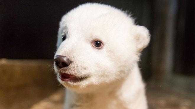 Après Knut et son destin tragique, voici Fritz, l'ourson polaire qui pourrait faire fondre le monde entier (photos et vidéo)