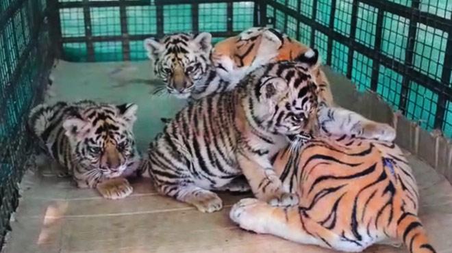 Un jouet pour remplacer une maman: la trouvaille d'un zoo indien pour sauver trois bébés tigres