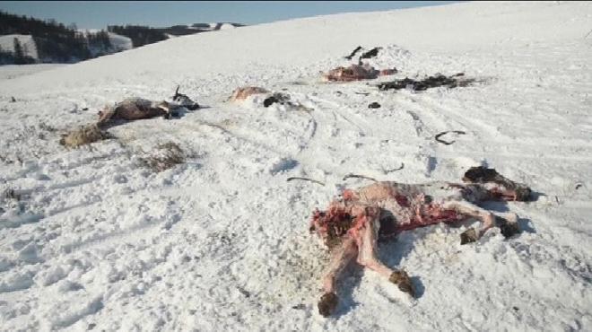Désastre en Mongolie: l'hiver à -50°C tue plus de 40.000 animaux