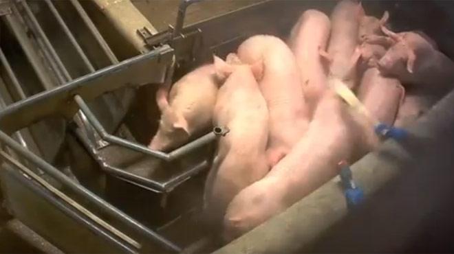 Nouveau cas de maltraitance dans un abattoir? Des cochons entassés reçoivent des coups et des chocs électriques