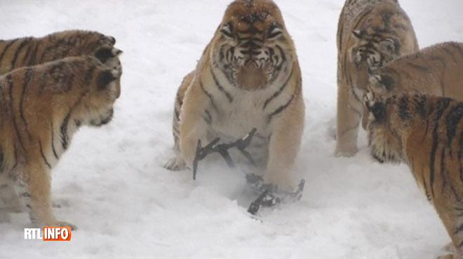 Voici ce qui se passe quand une horde de tigres affamés confondent un oiseau en vol... avec un drone