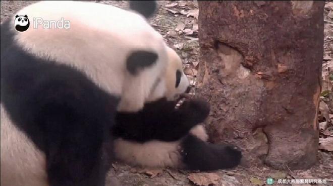 TROP MIGNON: une maman panda joue avec son bébé