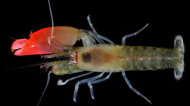 Pourquoi cette nouvelle espèce de crevette a-t-elle été baptisée Pink Floyd?