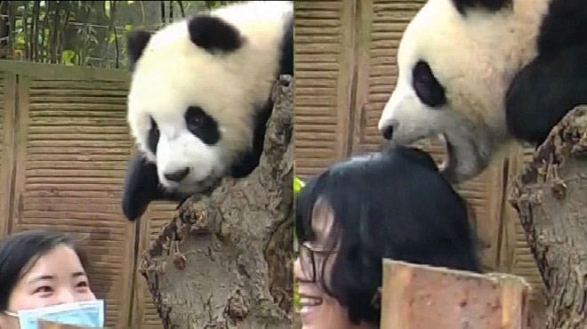 Ce panda malicieux n'a pas très envie de faire un selfie et le montre!