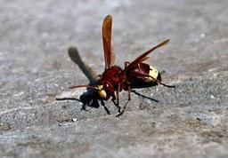 Alerte aux frelons asiatiques en Belgique: les apiculteurs appelés à la vigilance