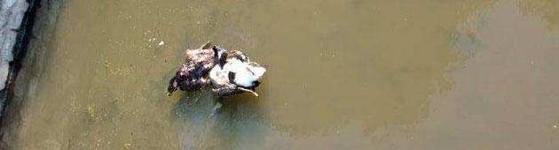 2-canards-morts