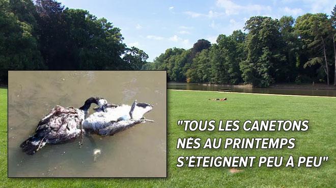L'étang du Bois de la Cambre inquiète Philippe: