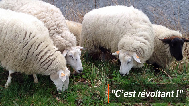 Contrôlé par l'Afsca pour ses moutons, Geoffrey doit payer 750 euros pour une raison qu'il juge absurde