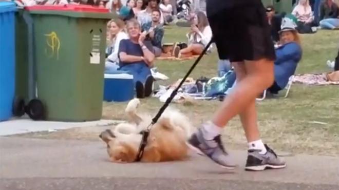 Ce chien est vraiment prêt à TOUT pour rester au parc… y compris à faire le mort (vidéo)