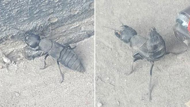 Cet insecte ressemble à un scorpion et peut dégager une mauvaise odeur, mais