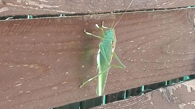 Avec ses longues pattes et ses longues antennes, cet insecte n'est pas passé inaperçu chez Nancy: