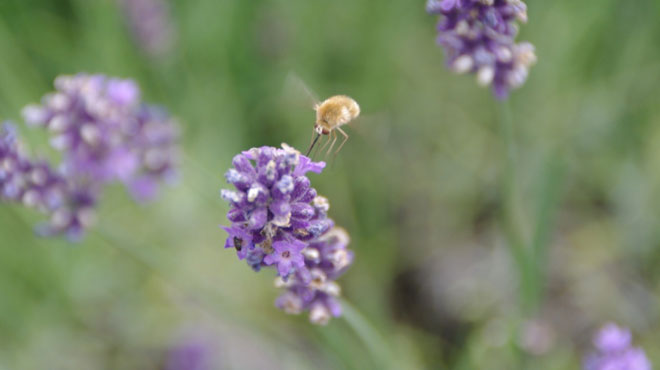 Maïté découvre un insecte qui vole à la façon d'un colibri dans son jardin: