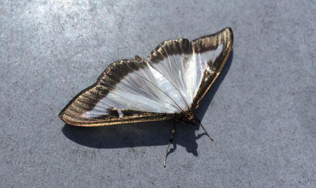 ces chenilles ravagent vos buis cette ann e quoi ressemble le papillon adulte photos rtl. Black Bedroom Furniture Sets. Home Design Ideas