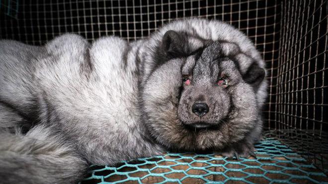 ABJECT: des fourrures Gucci ou Vuitton obtenues à l'aide de renards gavés jusqu'à la mort (vidéo)