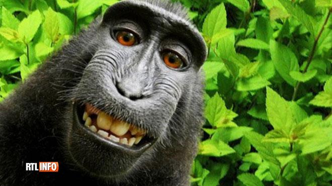 Si un singe prend un selfie avec votre appareil photo, à qui vont les droits? Un accord a été trouvé entre le photographe David Slater et PETA