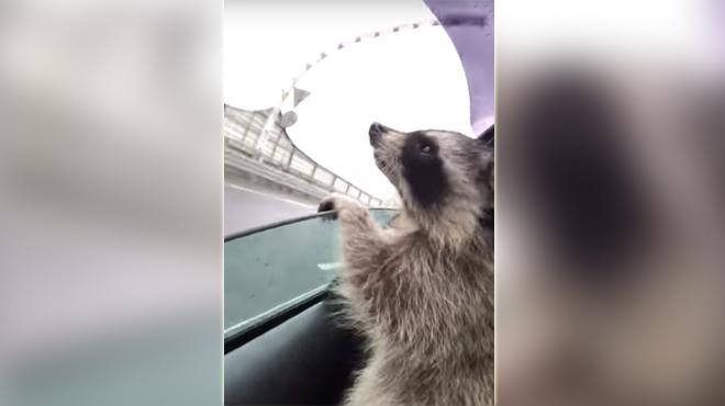 Craquant: ce raton-laveur essaye d'attraper des gouttes de pluie (vidéo)