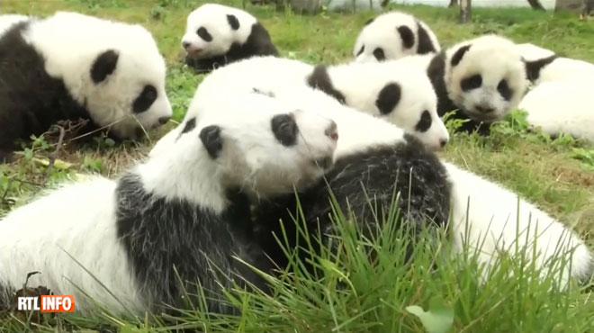 Trop mignon: 36 bébés pandas nés cette année présentés pour la première fois au public (vidéo)