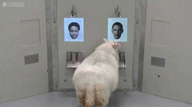 Ce mouton est capable de reconnaître le visage de Barack Obama ou d'Emma Watson: cette avancée scientifique n'est pas anodine
