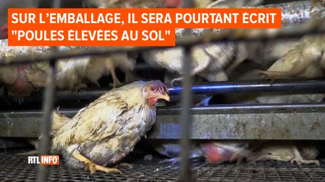 Nouvelle vidéo choc d'un élevage de poules en Flandre: