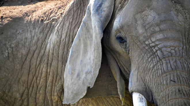 Une touriste belge a été piétinée à mort par un éléphant en Zambie