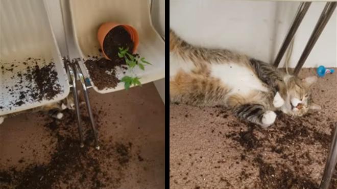 Son chat déterre ses plants de cannabis et a l'air… complètement pété (vidéo)