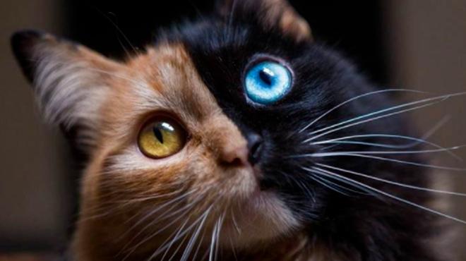 Quimera, le chat
