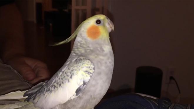 Cette perruche imite à la perfection la sonnerie de l'iPhone — Vidéo