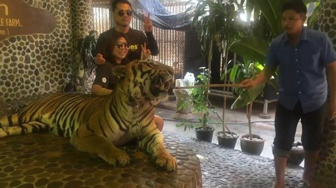 Un tigre battu pour les photos des touristes: cette vidéo dénonce un cas de maltraitance animale en Thaïlande