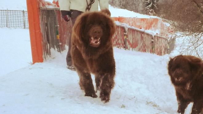 Effrayé par les feux d'artifices, le chien d'Axelle s'est enfui: avez-vous vu CHOKO?