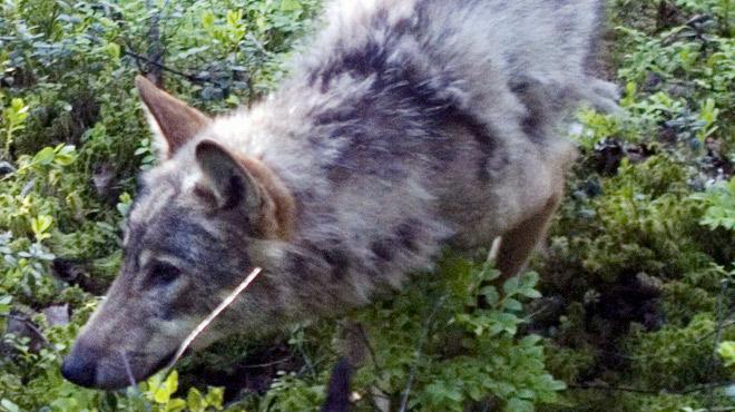 Un loup sauvage repéré en Flandre: l'animal a parcouru plus de 500 km