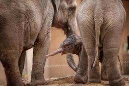 Un éléphanteau a vu le jour à Planckendael