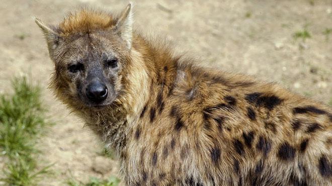 Une hyène tachetée aperçue pour la première fois depuis 20 ans au Gabon alors qu'on la croyait localement disparue