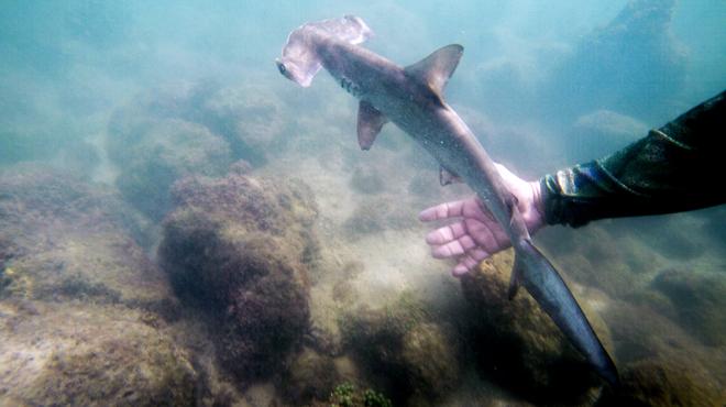 Un endroit secret où se reproduisent les requins marteaux vient d'être découvert: