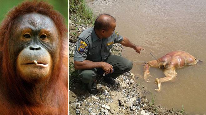 Un orang-outan blessé par balles, brûlé et décapité retrouvé dans une rivière en Indonésie: 2 suspects arrêtés