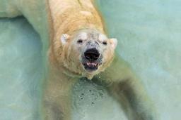 L'ours polaire ne trouve plus assez de phoques pour se rassasier