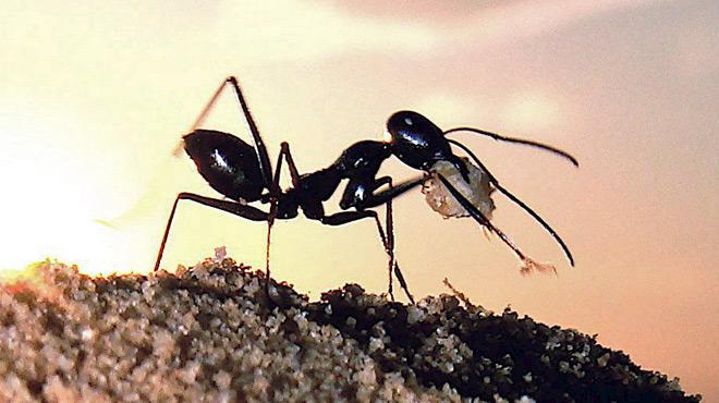 Les fourmis, nouvelle source de médicaments miracles ?