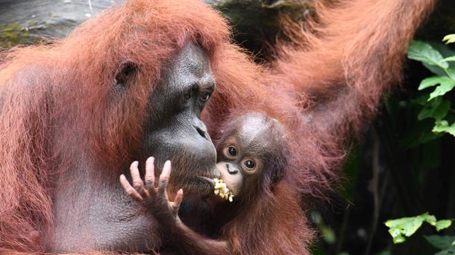 Un orang-outan, espèce proche de l'extinction, retrouvé mort, criblé de 130 balles dont la moitié dans la tête