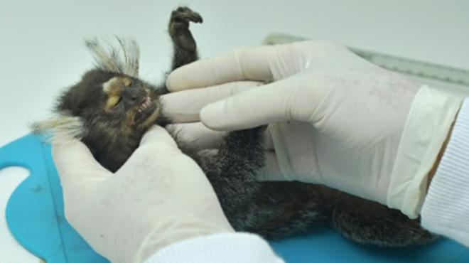 Accusés à tort de propager une maladie mortelle au Brésil, des centaines de singes sont massacrés