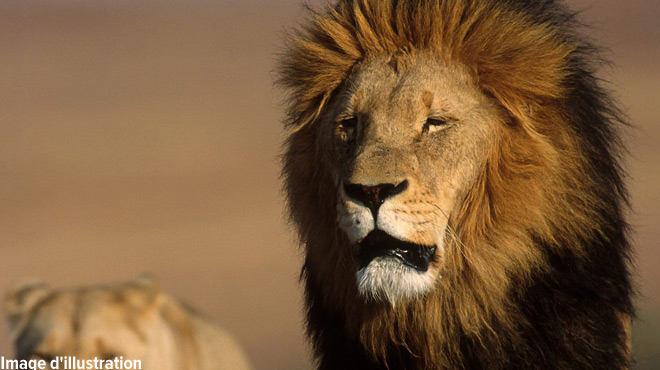 Un braconnier dévoré par des lions: