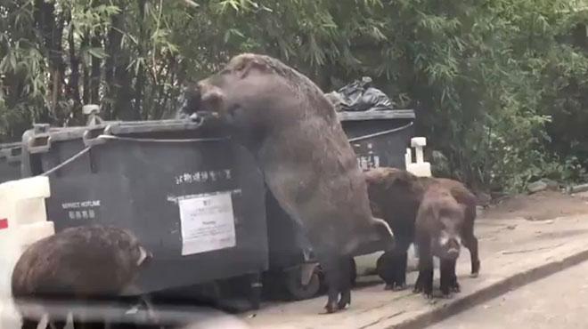 Des sangliers sauvages géants créent la panique en fouillant des poubelles près d'une école à Hong Kong