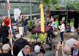 La floraison d'un arum titan attendue dans les jours à venir au Jardin botanique de Meise