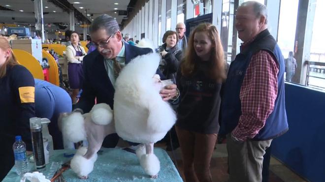 Des propriétaires de chiens du monde entier espèrent voir leur toutou gagner un prestigieux concours canin à New York