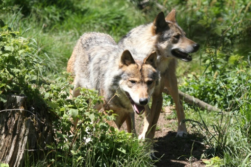 Il va falloir apprendre à coexister avec le loup, préconise un expert